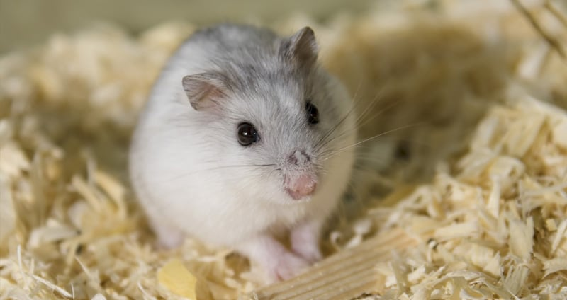 The 5 Best Hamster Beddings Available, Can You Use Shredded Paper For Hamster Bedding