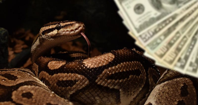 How Much Does A Ball Python Cost? [Initial & Yearly Cost