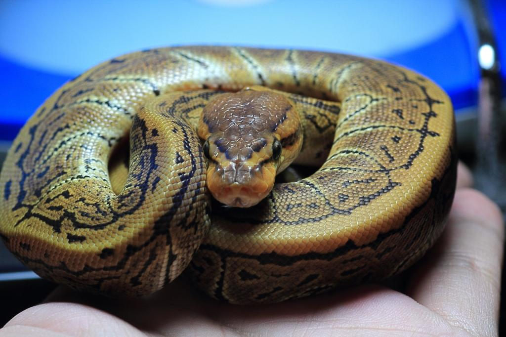 Ball Python Morphs – 26 Morph List, Pictures & Descriptions