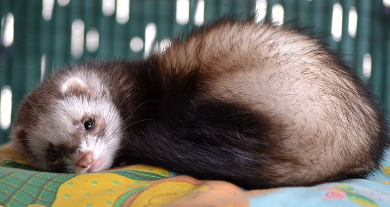 25 Cute Ferrets You Have to See (With Pictures)