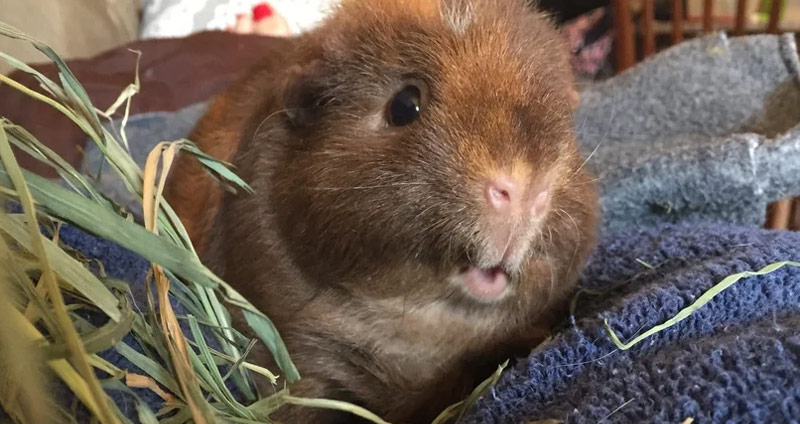 Teddy Guinea Pig – The Ultimate Care & Fact Guide