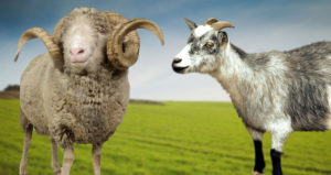 21 Types Of Goats Popular Goat Breed Pictures Descriptions Beyond The Treat