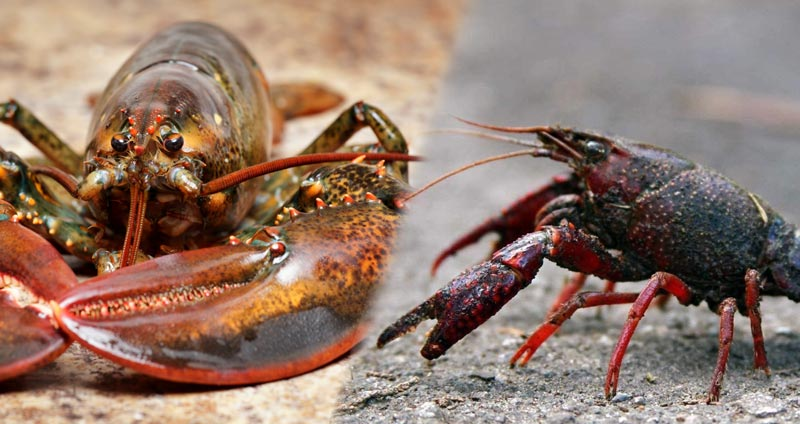 Crayfish vs. Lobster: Differences In Taste, Appearance, & Habitat